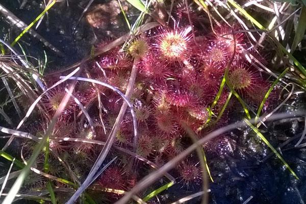 Sundew - Drosera Rotundifolia